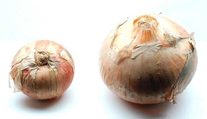 タマネギ栽培で肥料によって大きさが違う